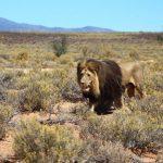 iverdoorn-game-reserve-lion-590x390